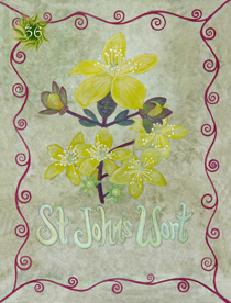 36 St Johns Wort Card Copy